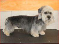dandie-dinmond-terrier